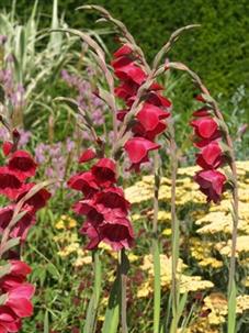 Gladiolus papilio 'Ruby' Gladpr10
