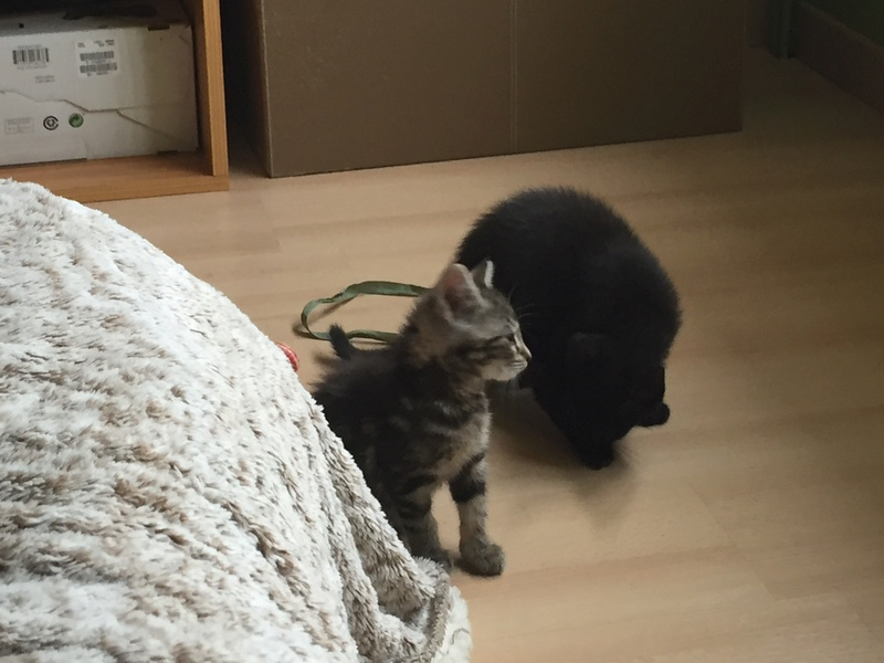 Nina, chatonne tigrée intrépide née le 10 mai 2017 Img_2317