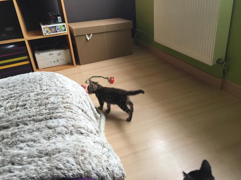 Nina, chatonne tigrée intrépide née le 10 mai 2017 Img_2319