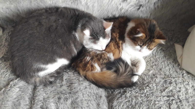 Chanel, femelle type européenne tabby et blanche angora née 15 mars 2013 - Page 10 20170511
