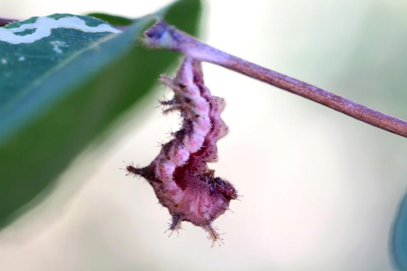 Limenitis reducta ce matin Limeni21
