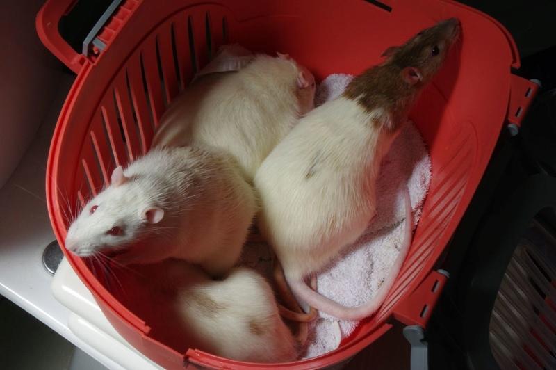 Ma joyeuse bande de petits hobbits joufflus (et poilus !) - Page 13 Rats-410