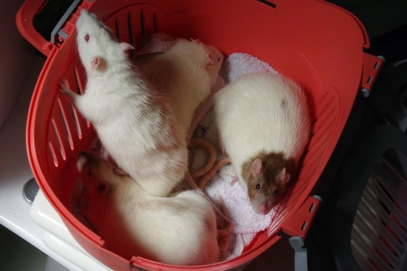 Ma joyeuse bande de petits hobbits joufflus (et poilus !) - Page 13 Rats-411