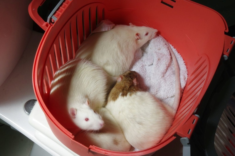 Ma joyeuse bande de petits hobbits joufflus (et poilus !) - Page 13 Rats-412