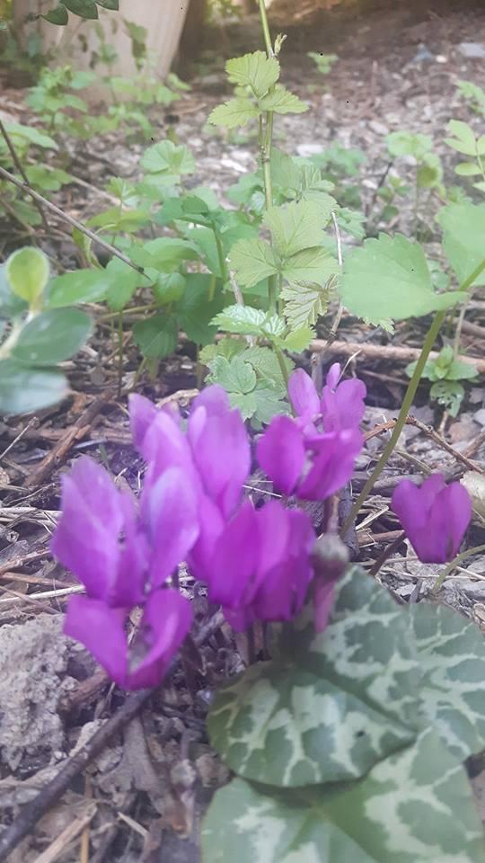 Fleurs de saison - Page 4 Cyclam12
