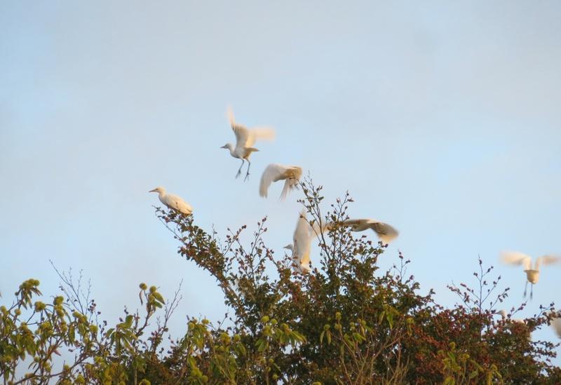 Drôles d'oiseaux Hyrons10
