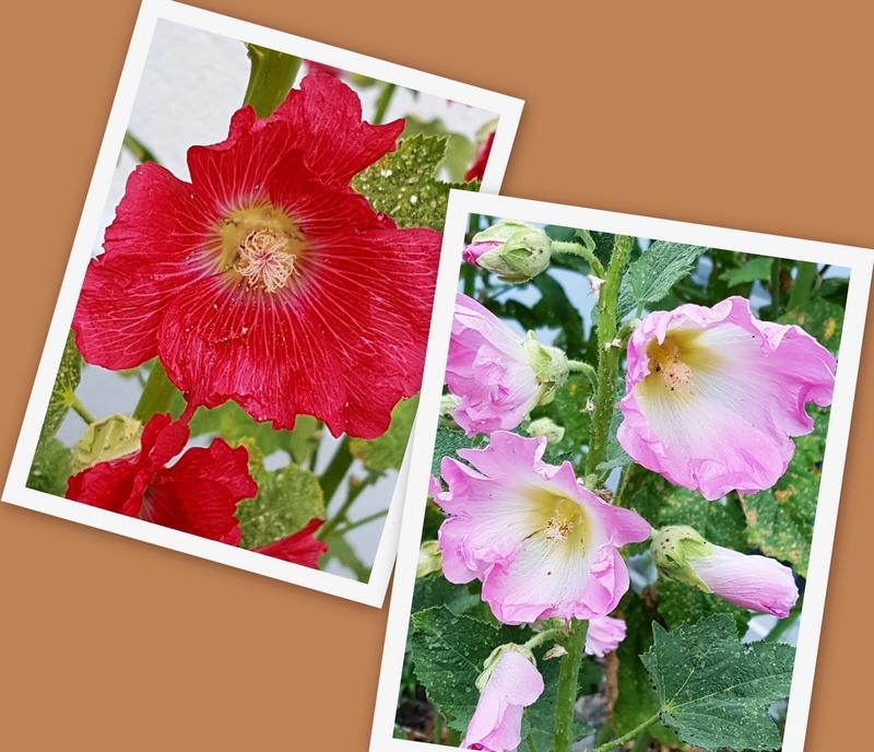 Malvengewächse - ohne Hibiscus - Seite 2 Collag10