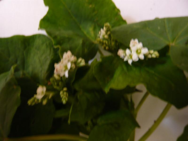 Fagopyrum aesculentum [Identification] P1020212