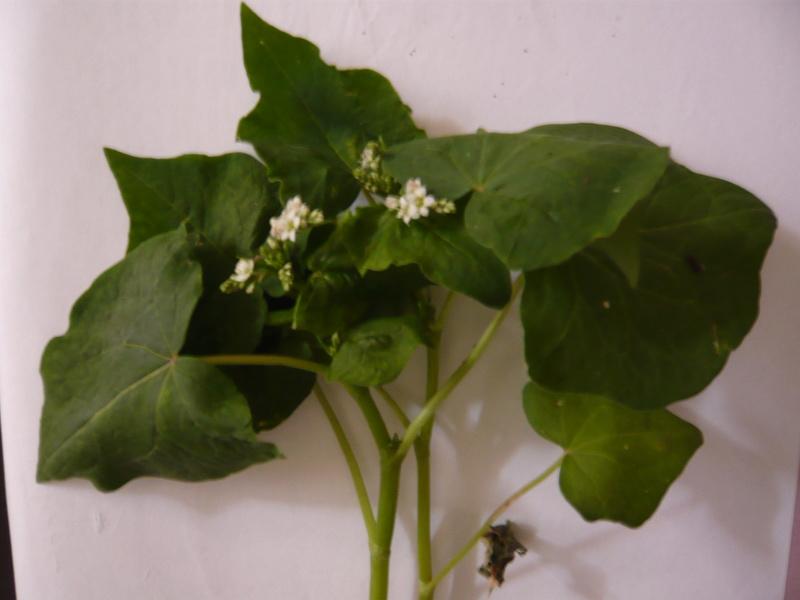 Fagopyrum aesculentum [Identification] P1020213