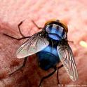 Le monde merveilleux des insectes - Page 4 Mouche10