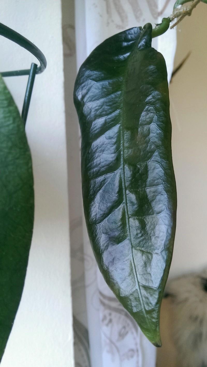 Hoya - Blätter  Fotos  Imag1026