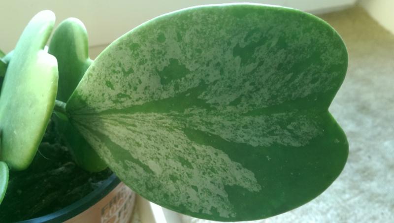 Hoya - Blätter  Fotos  Imag1028