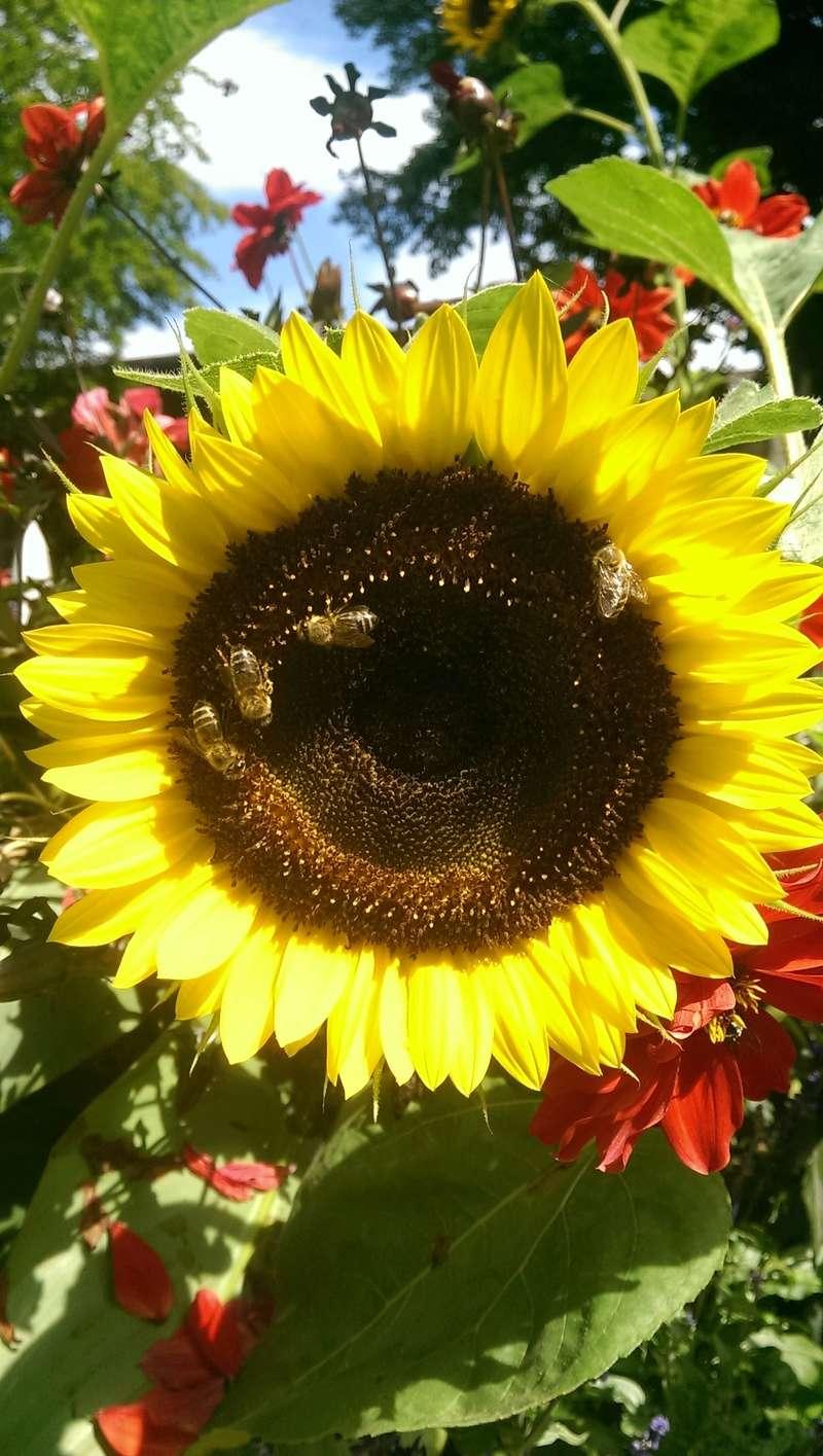 Sonnenblumen(artige) - Heliantheae - Seite 3 Imag1031