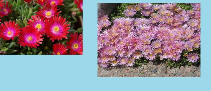 Mon bassin de jardin - Page 9 Delosp10