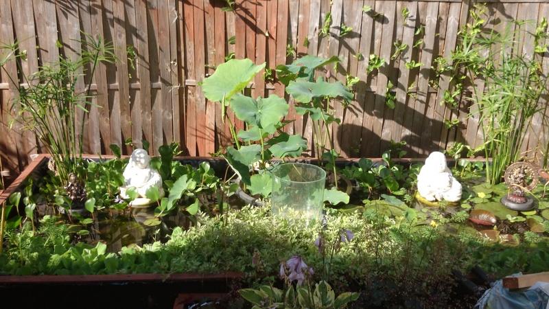 le bassin floral d'été de mes anodonte et moules naine - Page 38 Dsc_0095