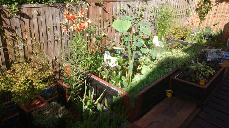 le bassin floral d'été de mes anodonte et moules naine - Page 38 Dsc_0096