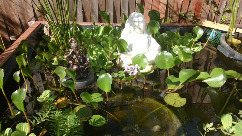 le bassin floral d'été de mes anodonte et moules naine - Page 38 Dsc_0097