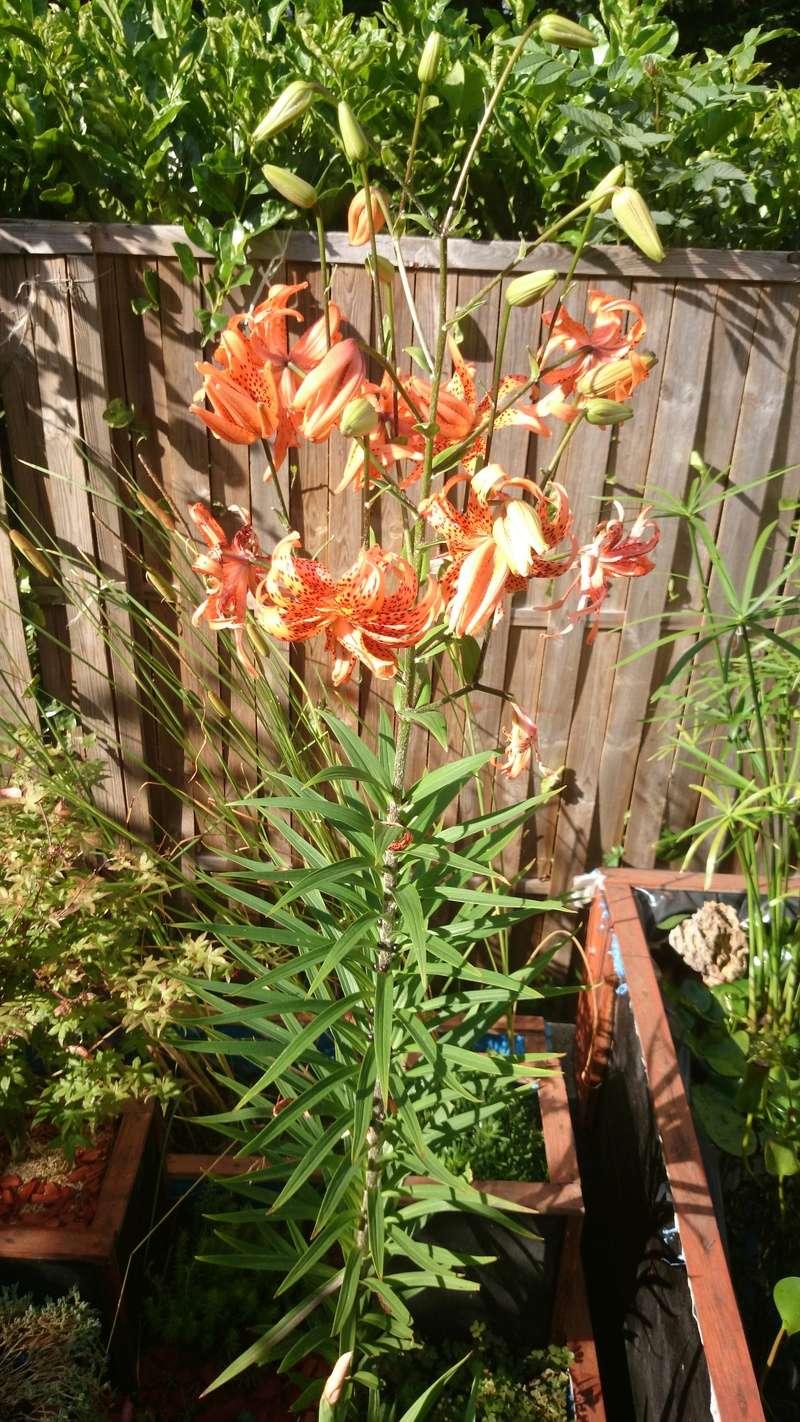 le bassin floral d'été de mes anodonte et moules naine - Page 38 Dsc_0098