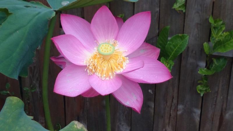 le bassin floral d'été de mes anodonte et moules naine Dsc_0159