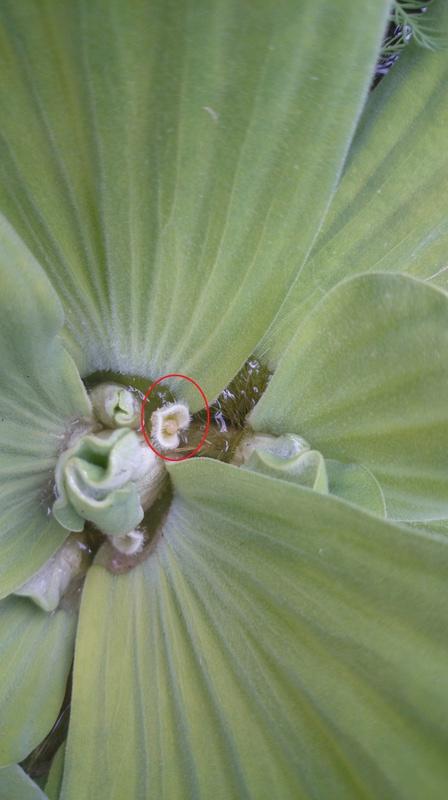 le bassin floral d'été de mes anodonte et moules naine Dsc_0176