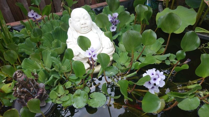 le bassin floral d'été de mes anodonte et moules naine Dsc_0177