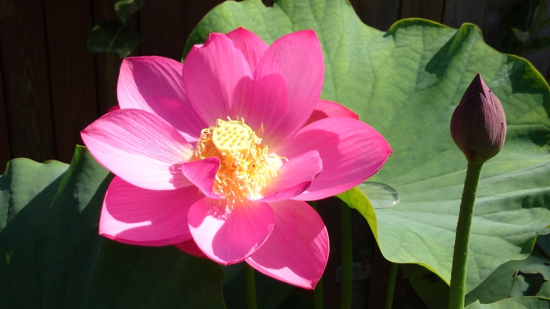 le bassin floral d'été de mes anodonte et moules naine Dsc_0207