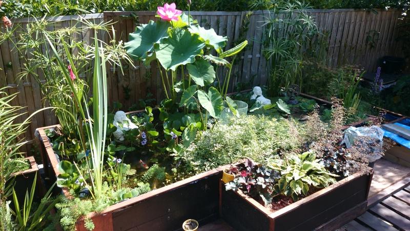 le bassin floral d'été de mes anodonte et moules naine Dsc_0208