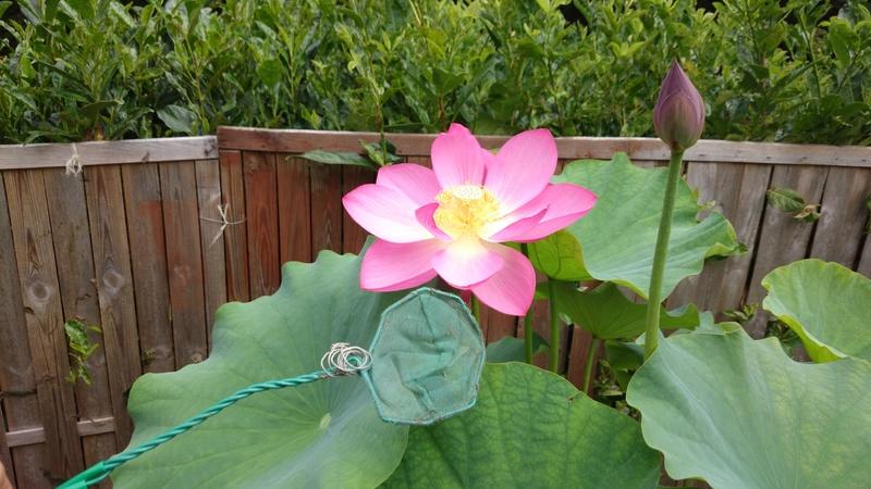 le bassin floral d'été de mes anodonte et moules naine Dsc_0209