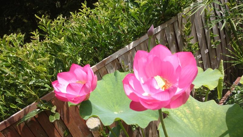 le bassin floral d'été de mes anodonte et moules naine - Page 2 Dsc_0232