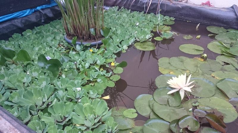 reamenagement de mon bassin de jardin - Page 10 Dsc_0252