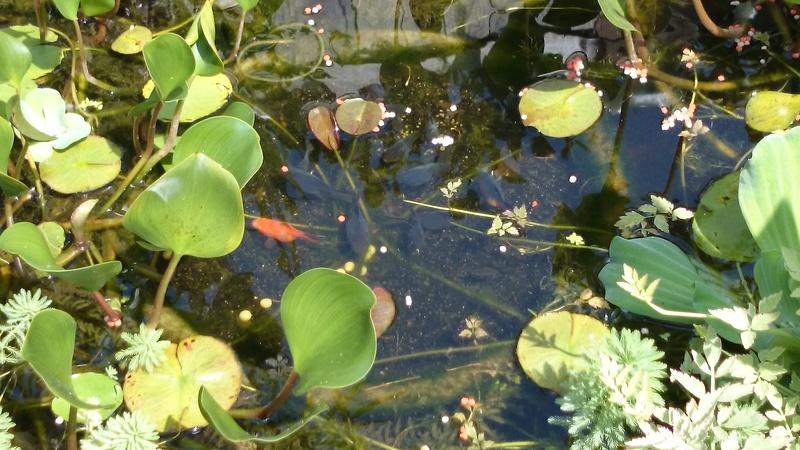 le bassin floral d'été de mes anodonte et moules naine - Page 2 Dsc_0254