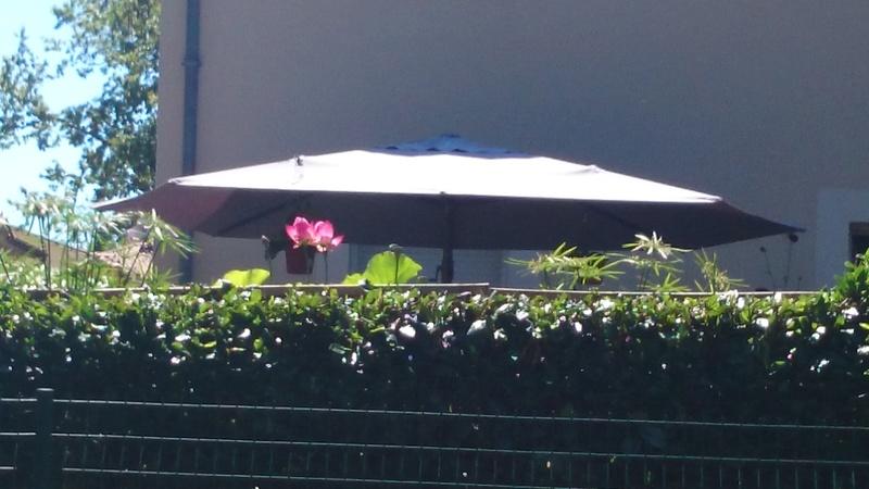 le bassin floral d'été de mes anodonte et moules naine - Page 2 Dsc_0265