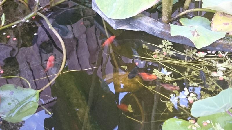 le bassin floral d'été de mes anodonte et moules naine - Page 2 Dsc_0269
