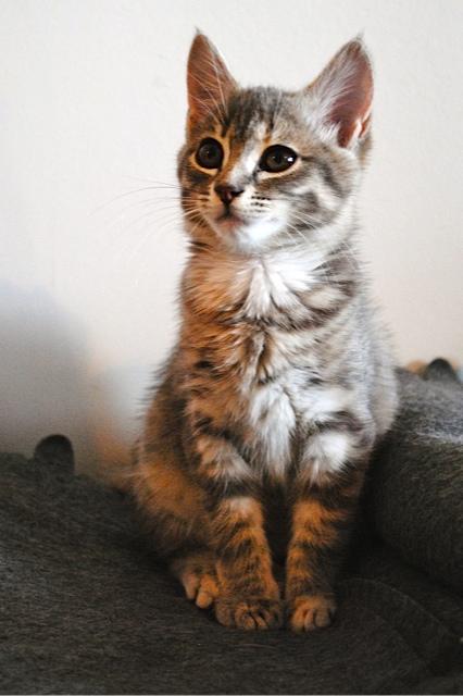 Nikita, femelle européenne tigrée gris , née le 13 juillet 2017 Dsc_0026