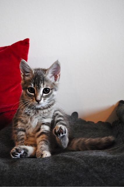 Nikita, femelle européenne tigrée gris , née le 13 juillet 2017 Dsc_0028