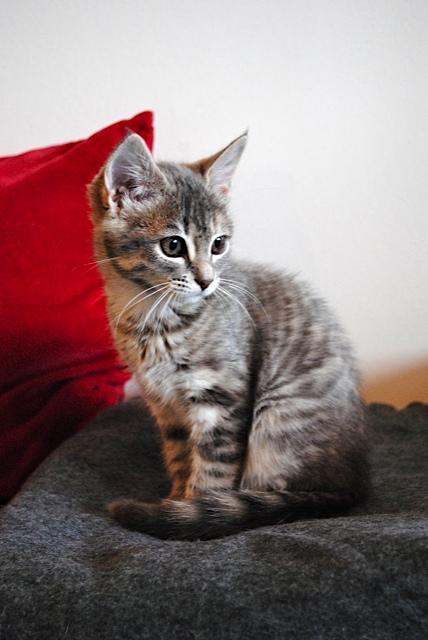 Nikita, femelle européenne tigrée gris , née le 13 juillet 2017 Dsc_0030