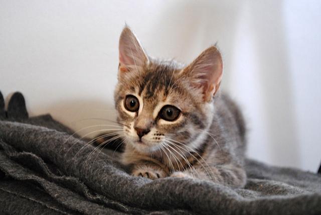 Nikita, femelle européenne tigrée gris , née le 13 juillet 2017 Dsc_0031