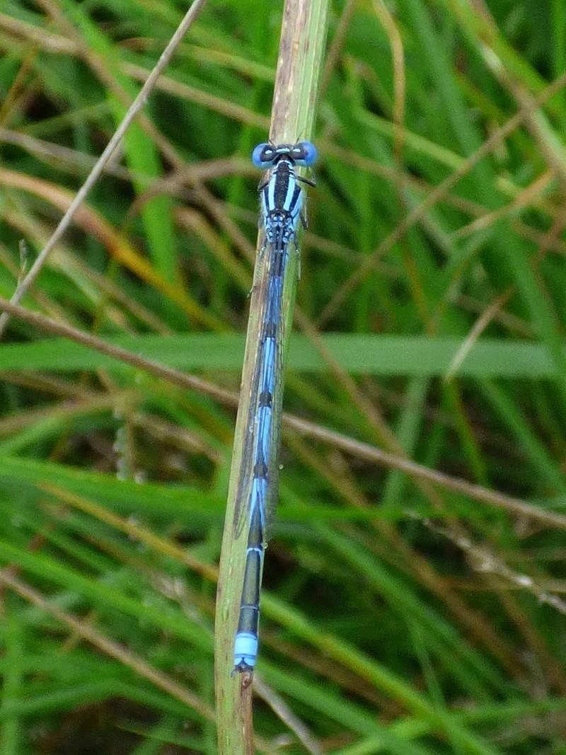 2 p'tites bleues Coenag10