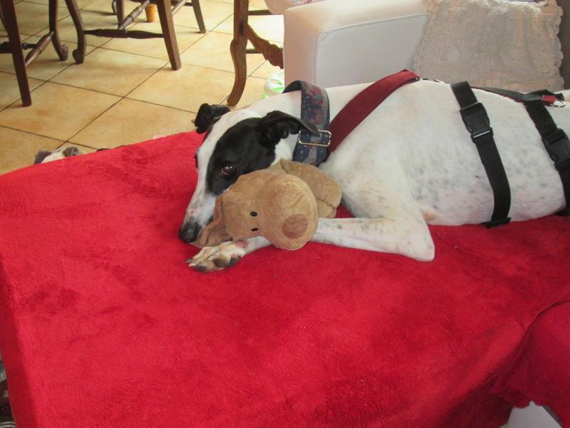 BLAN  joli galgo male blanc et noir 1 an Adopte Blanc110
