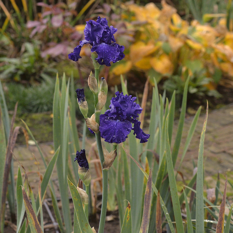 iris remontants Ar_dsc10