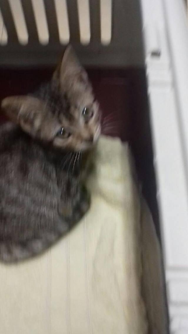Lilou, adorable chatonne tigrée abandonnée 20793910