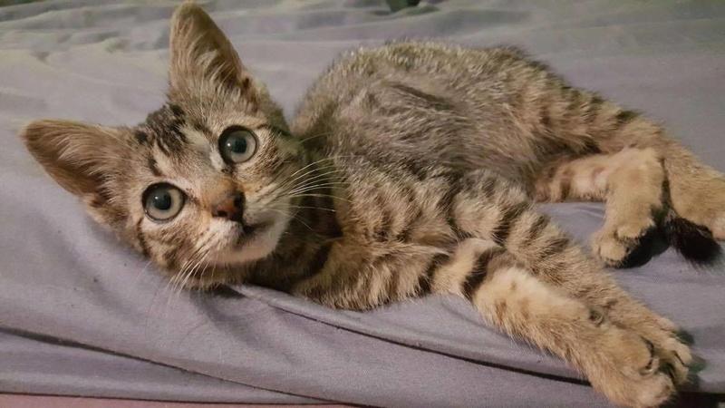 Lilou, adorable chatonne tigrée abandonnée 20813410