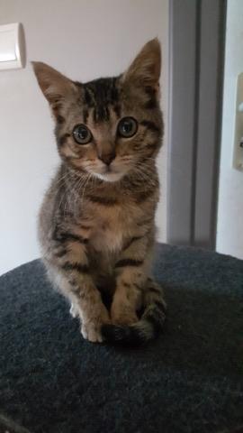 Lilou, adorable chatonne tigrée abandonnée 21268610
