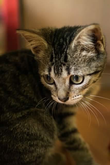 Lilou, adorable chatonne tigrée abandonnée 21290910