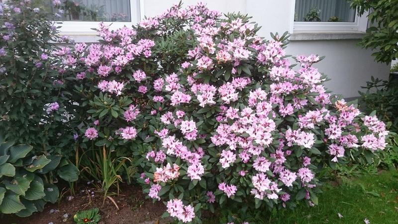 Rhododendron Dsc_0211