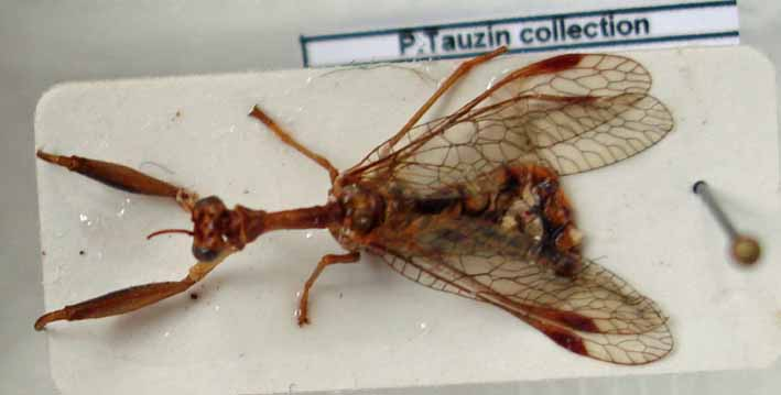 [Mantispa styriaca] Mantispidae en forêt de Fontainebleau Mantis10