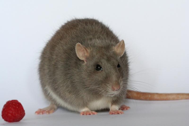 Les rondeurs ratounesques Img_3710
