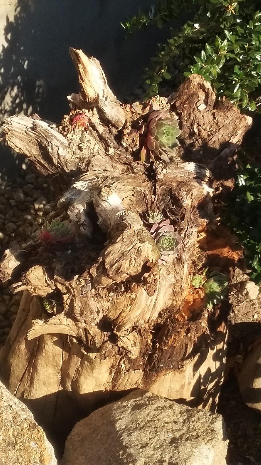 Hang- und Steingartenpflanzen - Seite 30 20181021