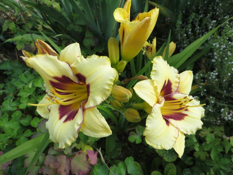 Hemerocallis - Taglilien - Schönheiten im Juni und Juli - Seite 8 Img_4423