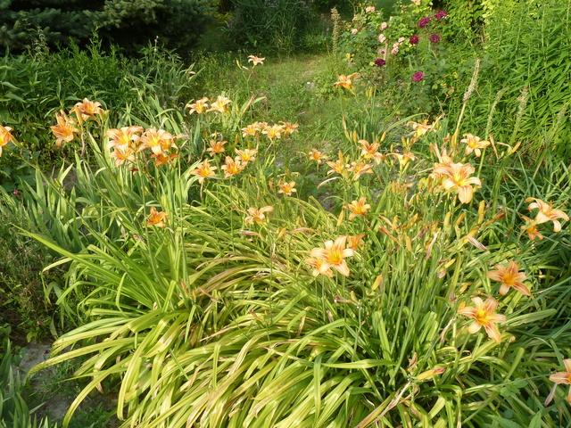 Hemerocallis - des variétés - Page 6 H_fulv10